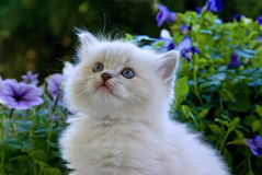 Cute Ragdoll kitten with flowers. Beautiful pretty cute Ragdoll kitten closeup of face with natural flowers garden in background Royalty Free Stock Photography