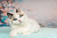 Cute ragdoll kitten in flowery background Stock Photo