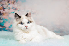 Cute ragdoll kitten in flowery background. Cute ragdoll kitten lying on blue sheepskin in flowery background Stock Photos