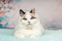 Cute ragdoll kitten in flowery background. Cute ragdoll kitten lying on blue sheepskin in flowery background royalty free stock photography