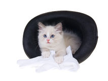Cute Ragdoll kitten inside top hat Royalty Free Stock Photo