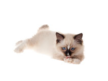 Cute Ragdoll kitten licking paw isolated Stock Photography