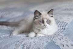 Cute ragdoll kitten looking stock photos