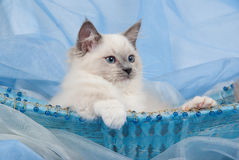 Cute Ragdoll kitten lying back in blue basket. Ragdoll kitten in blue beaded basket with paw hanging outside Royalty Free Stock Photography