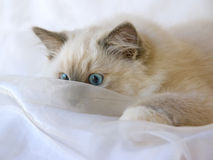 Cute Ragdoll kitten peeping through fabric Royalty Free Stock Photo