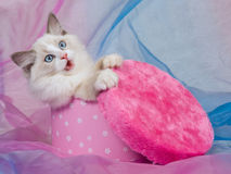 Cute Ragdoll kitten, in pink gift box Stock Photos