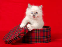 Cute Ragdoll kitten in tartan gift box Royalty Free Stock Image