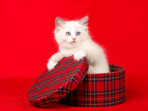 Cute Ragdoll kitten in tartan gift box Stock Photos