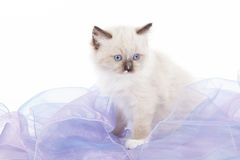 Cute Ragdoll kitten Royalty Free Stock Photo