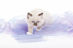 Cute Ragdoll kitten Stock Image