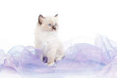 Cute Ragdoll kitten Royalty Free Stock Photography