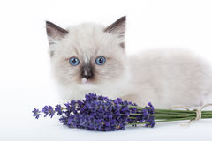 Cute Ragdoll kitten Royalty Free Stock Images