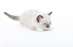 Cute Ragdoll kitten Stock Images