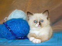Cute Ragdoll kitten with yarn wool Stock Image