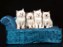 Cute Ragdoll kittens on blue chaise. Pretty and cute Ragdoll kittens on miniature chaise sofa on black background stock image