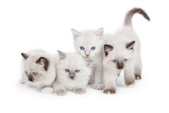 Cute Ragdoll kittens. 4 Cute Ragdoll kittens on white background stock photos