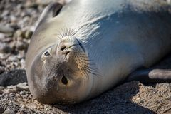 Rare endangered playing Hawaiian Monk Seal. Cute, rare and endangered Hawaiian Monk Seal playing in the sand on the beaches of Oahu, Hawaii basking in the sun Royalty Free Stock Image