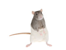 Cute rat Stock Photos