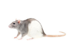 Cute rat Royalty Free Stock Photos