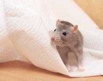 Cute rat Stock Image