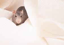 Cute rat Royalty Free Stock Image