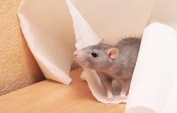 Cute rat Stock Images