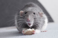 Cute rat. Grey dumbo rat is eating biscuit and looks cute Stock Photo