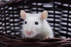 Cute rat looks Stock Photo