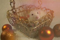 Cute rat posing in a golden basket Stock Images