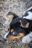 Cute Rat Terrier puppy stock photography