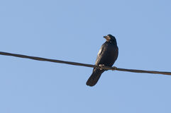 Cute raven sitting on the wire Stock Photos