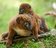 Cute Red-bellied Lemur with baby Royalty Free Stock Image