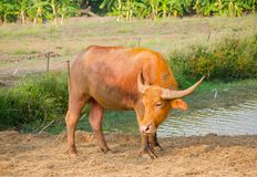 Cute Red-brown Asian water buffalo standing in a rural area of Thailand. A Cute Red-brown Asian water buffalo standing in a rural area of Thailand Royalty Free Stock Photo