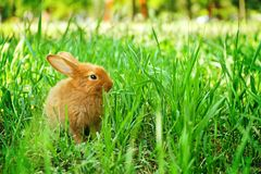 Cute red bunny among green grass. Outdoors Stock Photo
