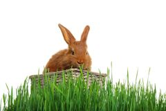 Cute red bunny in wicker basket among green grass. On white background Royalty Free Stock Photography