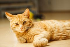 Cute red careless cat with long ears looking at camera laying on floor. Favourite domestic pet has rest, fluffy feline with green eyes Stock Images