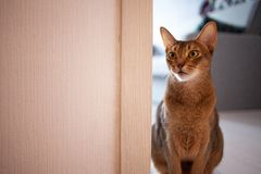 Cute red cat Abyssinian breed sitting on the floor in the apartment. stock photo