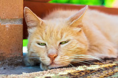 Cute red cat. Closeup portrait of red cat outdoor in summer Stock Images
