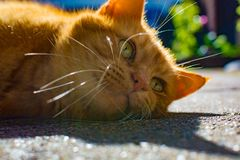 Cute red cat enjoing hot sun lights in garden. Cute red cat with big whisckers enjoing hot sun lights in garden Stock Images