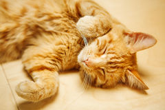 Cute red cat laying on his back at floor with closed eyes Royalty Free Stock Photography
