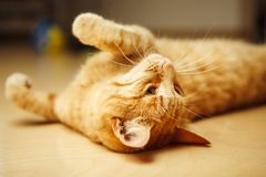 Cute red cat laying on his back at floor and looking at top. Royalty Free Stock Image