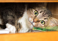 Cute red cat lying in the closet on the shelf with things Royalty Free Stock Photos