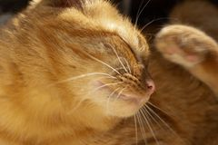 Cute red cat metis at home, scratching royalty free stock image