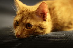 Cute red cat. Portrait of cute red cat lying on sofa Royalty Free Stock Images