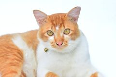 Cute red cat on white background. Isolated, orange, ginger, portrait, domestic, beautiful, animal, looking, feline, nature, face, mammal, playful, eyes, posing stock photo