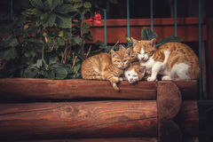 Cute red cats family together with kitten resting on wooden logs in rural countryside village in vintage rustic style Stock Photography