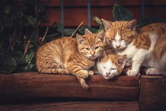 Cute red cats family together with kitten resting on wooden logs in rural countryside village in vintage rustic style Royalty Free Stock Photos