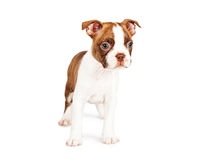 Cute Red Color Boston Terrier Puppy Stock Images