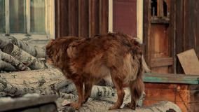 Cute red dog that eats something on birch logs. Dog on a chain in the village. stock footage