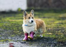 Cute red dog puppy Corgi walks through puddles in the village in funny rubber boots after a warm rain. Cute dog puppy Corgi walks through puddles in the village royalty free stock photography